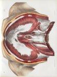 Planche 80 - Diaphragme - Plan abdominal - Traité complet de l'anatomie de l'homme, par les Drs Bour [...]