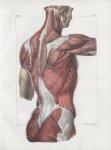 Planche 83 - Ensemble des muscles du dos - Couche superficielle - Trapèze, grand dorsal, extrémité p [...]