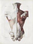 Planche 84 - Ensemble des muscles du dos - Première couche - Trapèze et grand dorsal - Traité comple [...]