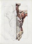 Planche 85 - Muscles du dos - Deuxième couche. Rhomboïde, petit dentelé postérieur inférieur, spléni [...]