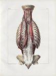 Planche 86 - Muscles du dos - Troisième couche - Traité complet de l'anatomie de l'homme, par les Dr [...]