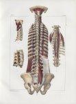 Planche 89 - Muscles du dos - Quatrième couche - Grands et petits droits et obliques postérieurs et  [...]