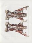 Planche 92 - Muscles rachidiens - Grands droits et petits droits antérieurs, droits latéraux de la t [...]