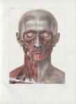 Planche 93 - Muscles de la face et du cou - Couche superficielle - Traité complet de l'anatomie de l [...]