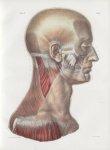 Planche 95 - Muscles de la tête et du cou - Plan latéral. - Couche superficielle - Traité complet de [...]