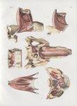 Planche 98 - Muscles de la langue, du voile du palais et du pharynx - Traité complet de l'anatomie d [...]