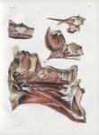 Planche 99 - Muscles du pharynx - Plan latéral - Traité complet de l'anatomie de l'homme, par les Dr [...]