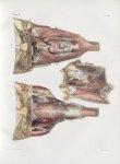 Planche 101 - Muscles du pharynx - Plan postérieur - Traité complet de l'anatomie de l'homme, par le [...]