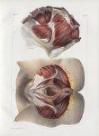 Planche 105 - Muscles du bassin - Traité complet de l'anatomie de l'homme, par les Drs Bourgery et C [...]