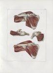 Planche 107 - Muscles de l'épaule - Plan antérieur - Sous-scapulaire, grand rond, sous-épineux, et p [...]