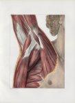 Planche 109 - Connexions musculaires de l'aisselle - Couche superficielle - Muscles petit pectoral,  [...]