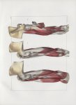 Planche 113 - Muscles du bras - Plan latéraux - Biceps, coraco-brachial, brachial antérieur, triceps [...]