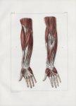 Planche 115 - Muscles de l'avant-bras - Première et deuxième couches - Biceps, brachial antérieur, t [...]