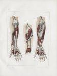 Planche 116 - Muscles de l'avant-bras - Deuxième et troisième couches - Rond pronateur, long fléchis [...]