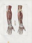 Planche 117 - Muscles de l'avant-bras - Plan postérieur - Traité complet de l'anatomie de l'homme, p [...]