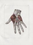 Planche 119 - Muscles de la main - Couche superficielle - Traité complet de l'anatomie de l'homme, p [...]