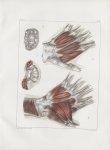 Planche 121 - Muscles de la paume de la main - Couche profonde - Traité complet de l'anatomie de l'h [...]