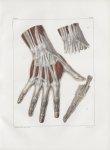 Planche 122 - Muscles de main - Plan postérieur - Traité complet de l'anatomie de l'homme, par les D [...]