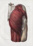 Planche 124 - Muscles pelvi-fémoraux - Couche superficielle. Grand fessier, moyen fessier, extrémité [...]