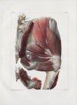 Planche 125 - Muscles pelvi-fémoraux - Deuxième couche - Muscles moyen fessier, pyramidal, jumeaux s [...]