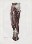 Planche 127 - Muscles de la cuisse - Plan antérieur. Couche superficielle. Muscles fascia-lata, cout [...]