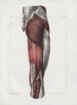 Planche 128 - Muscles de la cuisse - Plan postérieur - Couche superficielle. Grand et petit fessier, [...]