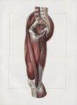 Planche 129 - Muscles de la cuisse - Plan interne - Couche superficielle. Couturier, droit interne,  [...]