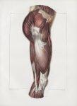 Planche 130 - Muscles de la cuisse - Plan latéral externe - Muscles grand et moyen fessier, fascia-l [...]