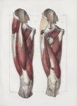 Planche 131 - Muscles de la cuisse - Plan antérieur - Muscles droit antérieur de la cuisse, triceps  [...]