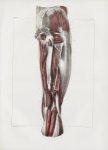 Planche 132 - Muscles de la cuisse - Plan postérieur. Deuxième couche - Muscles demi-membraneux, cou [...]