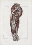 Planche 133 - Muscles de la cuisse - Plan interne. Deuxième couche - Droit antérieur, vaste interne, [...]