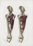 Planche 134 - Muscles de la cuisse - Plan antérieur - Muscles pectiné, premier, second et troisième  [...]
