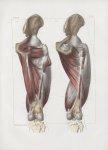 Planche 135 - Muscles de la cuisse - Plan postérieur. Troisième couche - Muscles adducteurs, premier [...]