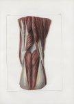 Planche 136 - Connexions musculaires du jarret - Couche superficielle - A la cuisse : extrémité infé [...]