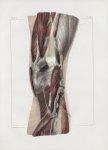 Planche 137 - Connexions musculaires du jarret - Couche profonde - Extrémité inférieure des muscles  [...]