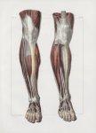 Planche 138 - Muscles de la jambe - Plan antérieur - Muscles jambier antérieur, extenseur propre du  [...]