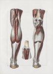 Planche 139 - Muscles de la jambe - Plan postérieur. Muscles jumeaux, soléaire, plantaire grêle, pop [...]