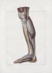 Planche 140 - Muscles de la jambe - Plan interne - Muscles jumeau interne, soléaire, partie du long  [...]
