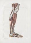 Planche 141 - Muscles de la jambe - Plan externe - Muscles jambier antérieur, long extenseur des ort [...]