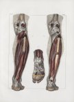 Planche 142 - Muscles de la jambe - Plan postérieur profond - Muscles poplité, long et court péronie [...]