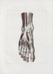 Planche 143 - Muscles du pied - Plan dorsal superficiel - Muscles péronnier antérieur, pédieux et in [...]