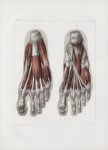 Planche 144 - Muscles du pied - Face plantaire - Muscles court fléchisseur commun, adducteur du gros [...]