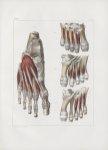 Planche 145 - Muscles du pied - Plans profonds, dorsal et plantaire - Traité complet de l'anatomie d [...]