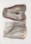 Planche 148 - Aponévroses du bassin - Traité complet de l'anatomie de l'homme, par les Drs Bourgery  [...]