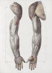 Planche 149 - Aponévrose d'enveloppe du membre thoracique - Traité complet de l'anatomie de l'homme, [...]