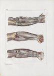 Planche 150 - Loges et cloisons aponévrotiques des muscles du bras et de l'avant-bras - Traité compl [...]