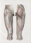 Planche 152 - Aponévrose d'enveloppe de la cuisse - Traité complet de l'anatomie de l'homme, par les [...]