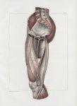 Planche 154 - Loges et cloisons aponévrotiques de la cuisse - Plan interne - Traité complet de l'ana [...]