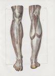 Planche 155 - Aponévroses de la jambe - Traité complet de l'anatomie de l'homme, par les Drs Bourger [...]