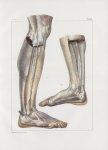 Planche 156 - Loges et cloisons aponévrotiques des muscles de la jambe et du pied - Plan latéraux -  [...]